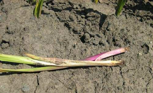 Почему не цветут гладиолусы: причины, ошибки при посадке, борьба с вредителями, рекомендации