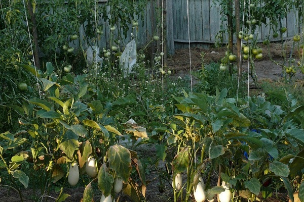 Характеристика и описание гибрида баклажана бибо f1, выращивание и уход