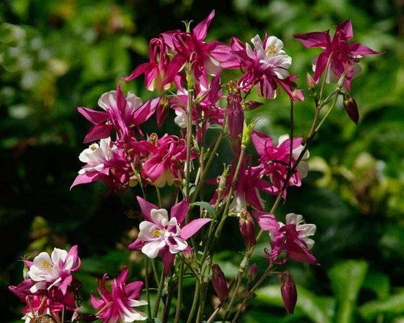 Аквилегия - фото, посадка и уход, выращивание из семян, описание сортов водосбора, пересадка