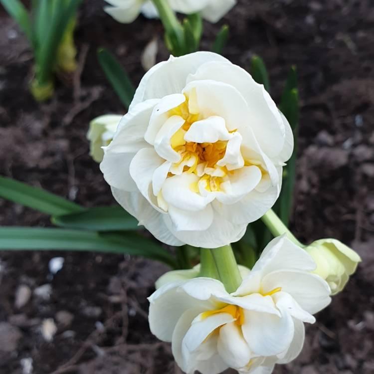 Нарцисс рози клауд: описание и характеристики сорта, правила посадки и ухода