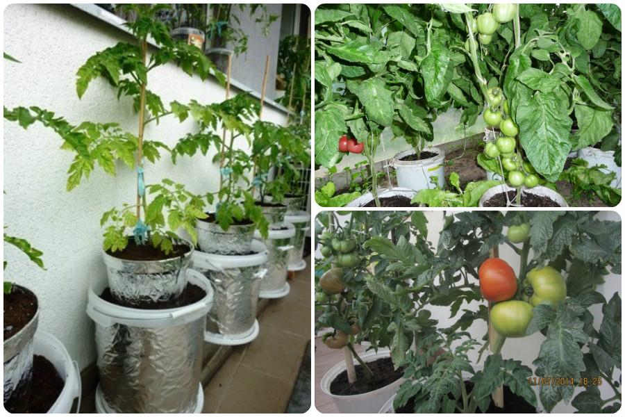 Выращивание томатов в теплице разными способами