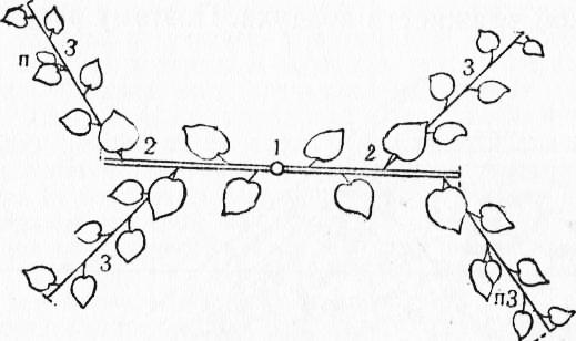 Формирование арбуза, в том числе при выращивании в теплице, а также описание основных методов