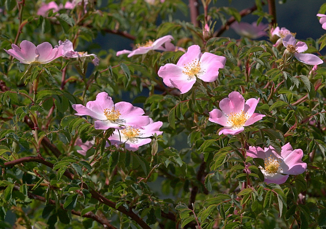 """Шиповник. """"ягоды"""" розы - красиво и полезно - сад"""