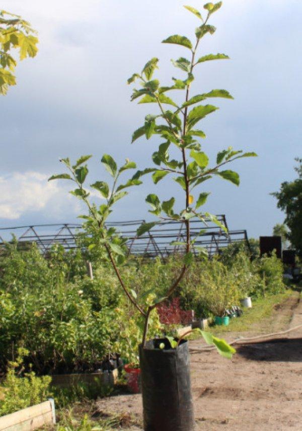 Слива для ленинградской области и северозапада лучшие желтые сорта самоплодные низкорослые