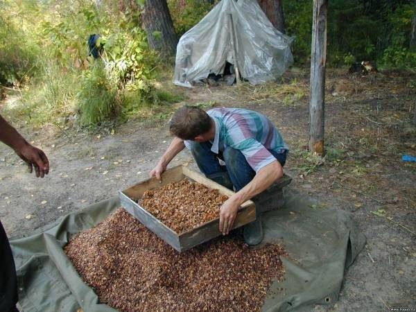 Когда и как правильно собирать кедровые орехи, обработка собранных шишек