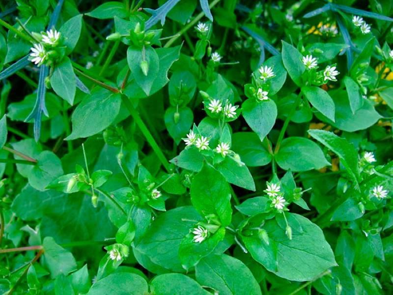 Трава мокрица: лечебные свойства звездчатки средней, ее фото и полезные рецепты применения в народной медицине при зобе и иных недугах, а также противопоказания