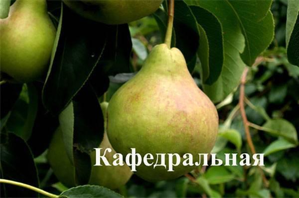 Груша белорусская поздняя: отзывы, фото, урожайность, посадка и уход