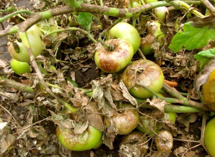 Почему чернеют помидоры (плоды, стебель, листья) и что делать