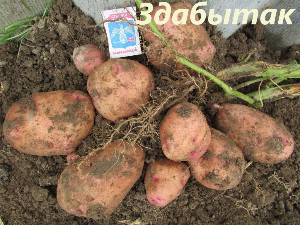 Картофель рогнеда: описание и характеристика, отзывы