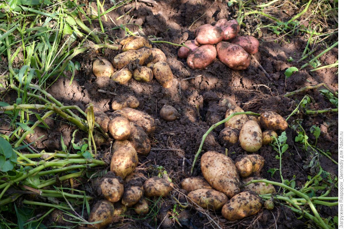 Длинные ростки у посадочного картофеля — что делать? совет профессионала