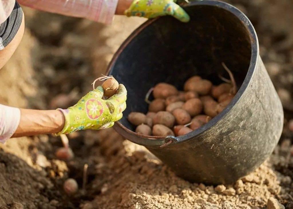 Как правильно ухаживать за картофелем, чтобы был хороший урожай