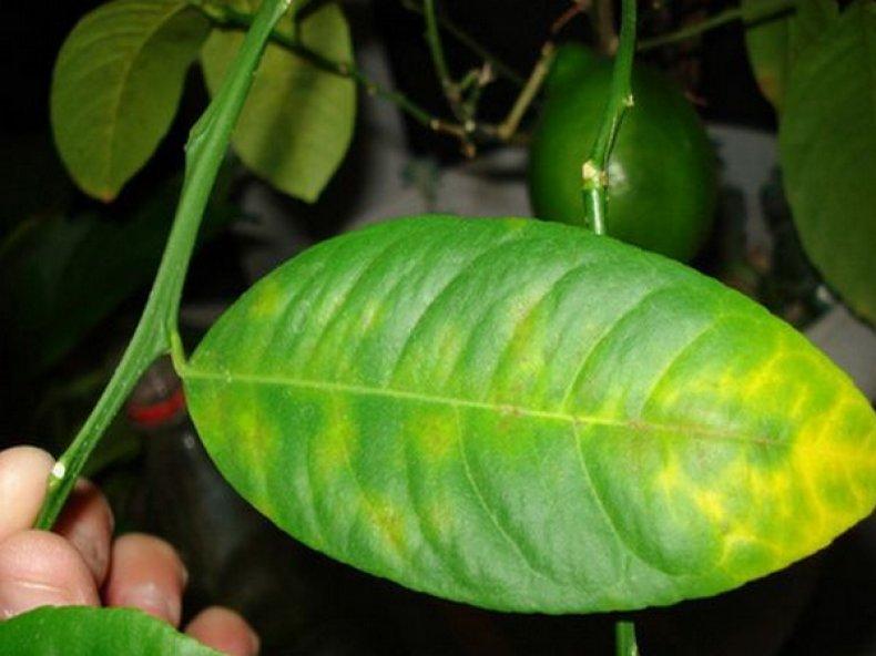 Болезни листьев лимона, почему они желтеют и опадают: что делать, как вылечить, защитить и восстановить поврежденное растение
