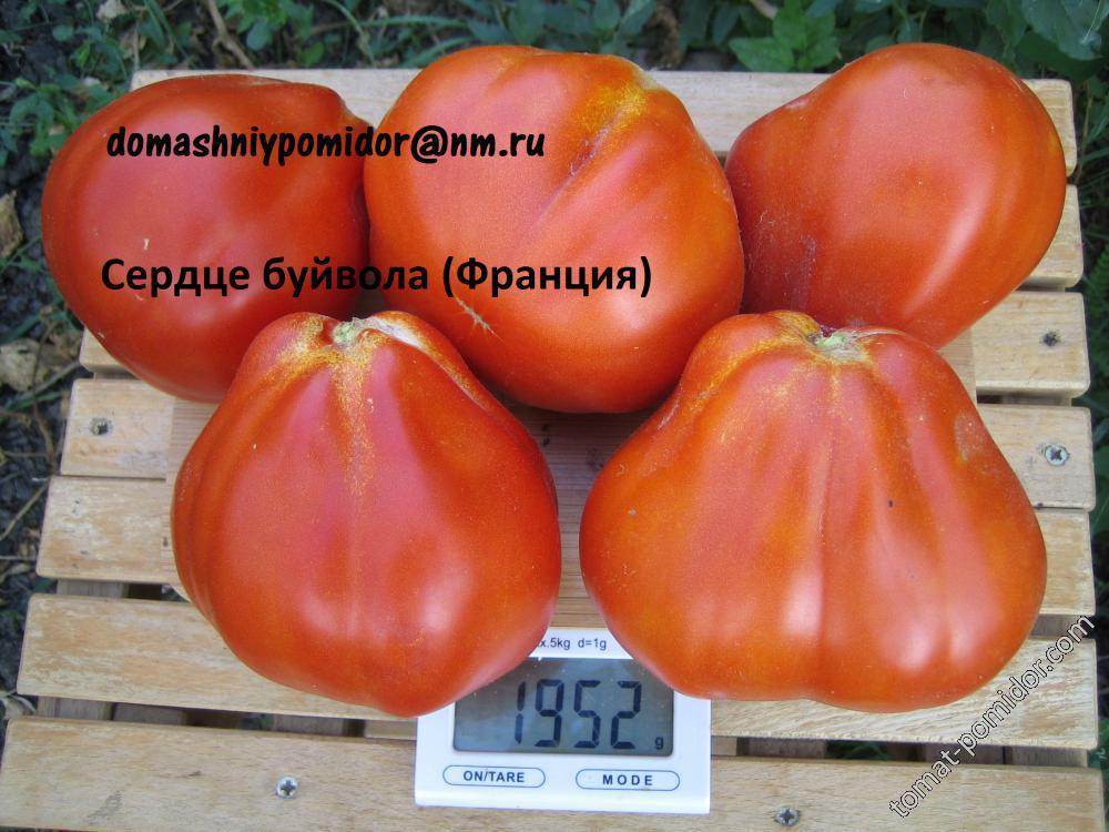 Знаменитый сорт с красивыми сердцевидными плодами — томат сердечный поцелуй: отзывы и фото куста, описание помидоров