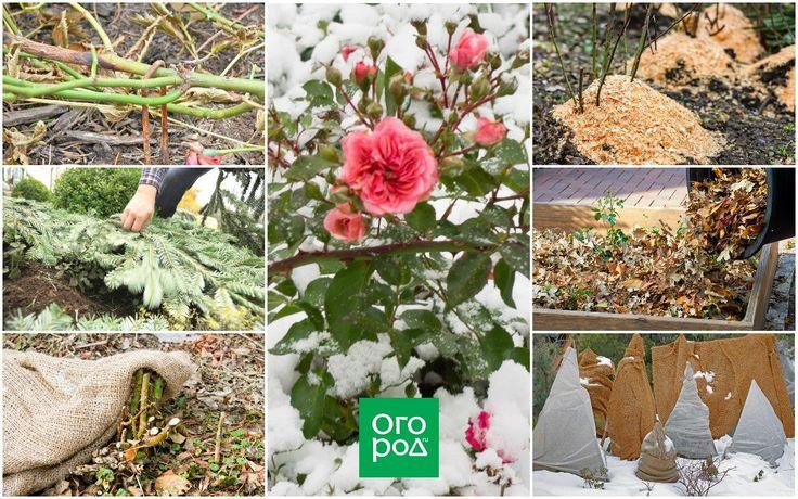 Посадка пионов осенью: преимущества, сроки, технология, подготовка растений к зиме, обрезка, защита от морозов, как сохранить материал до весны