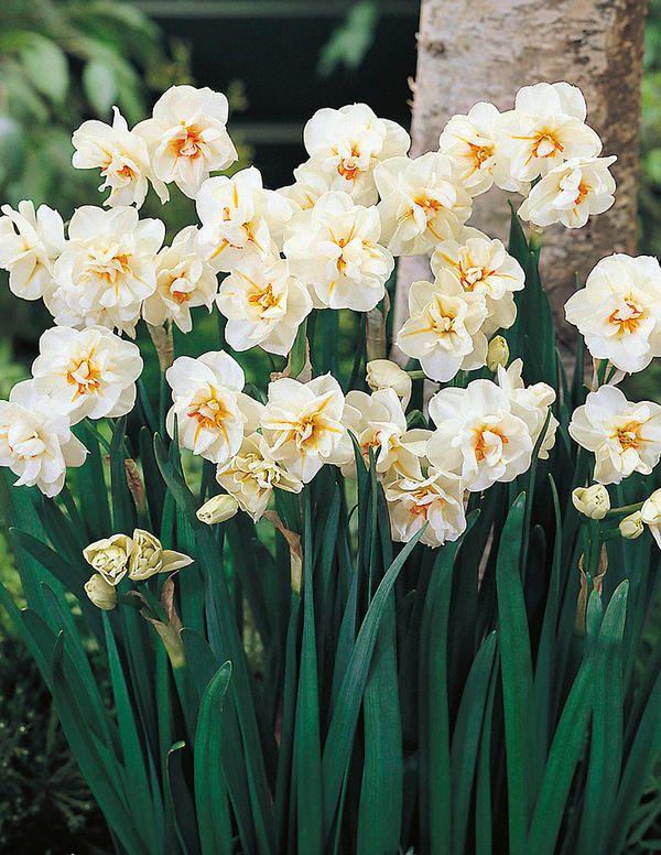 Нарцисс датч мастер: описание и характеристики сорта, посадка и выращивание
