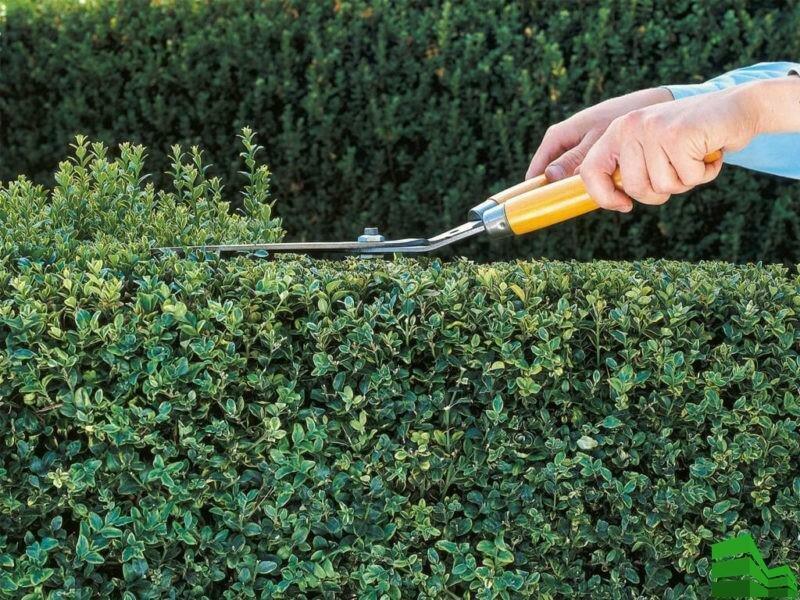 Живая изгородь из боярышника своими руками || виды боярышника для изгороди