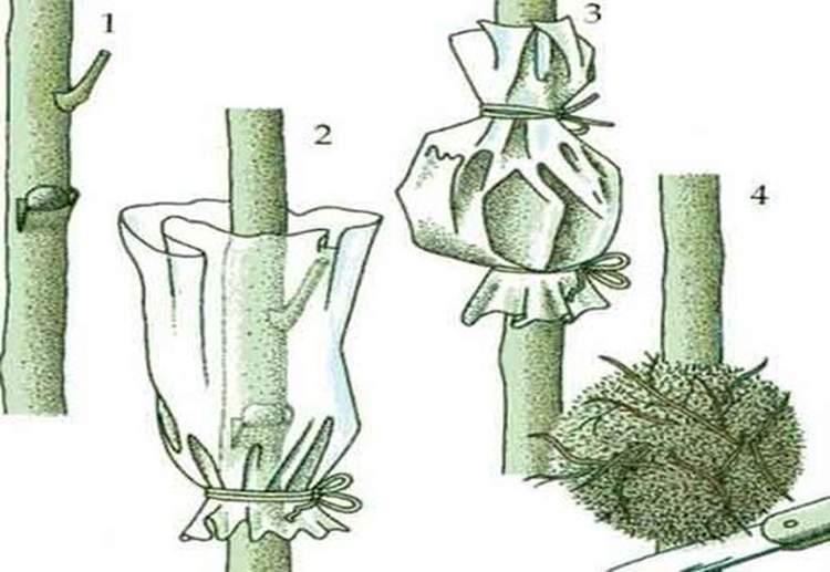 Как сажать черешню весной и на каком расстоянии? пошаговая инструкция