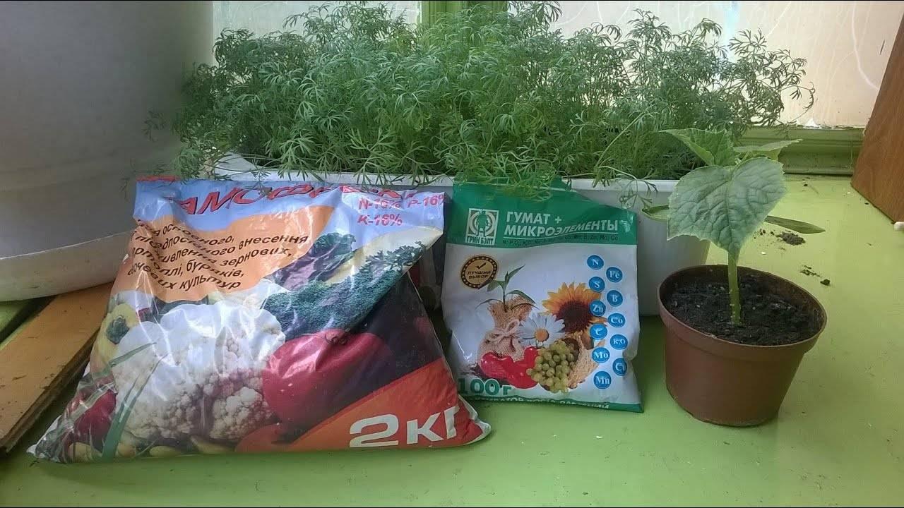 Чем подкормить рассаду огурцов: как удобрять на подоконнике после всходов, чтобы были толстенькие
