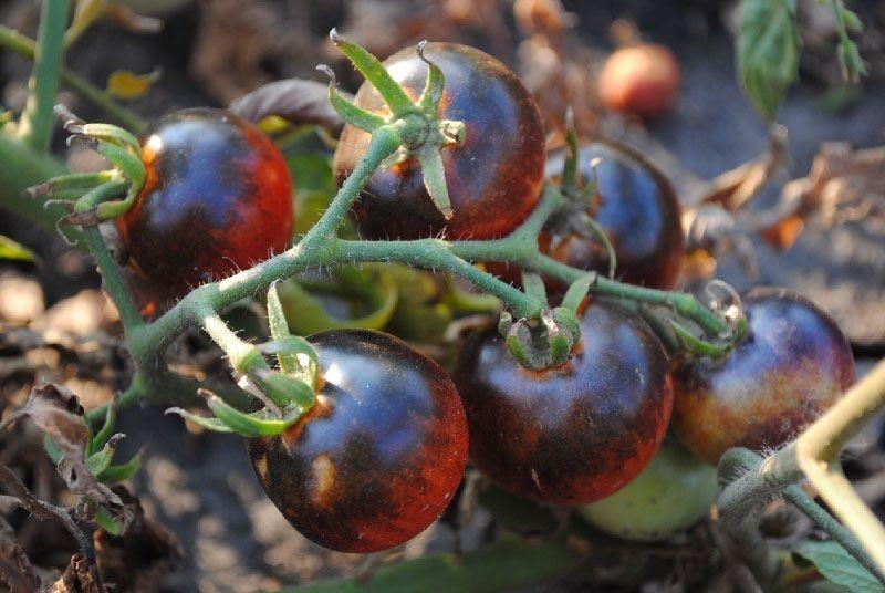 Томат черника: характеристика и описание сорта, отзывы, фото, урожайность