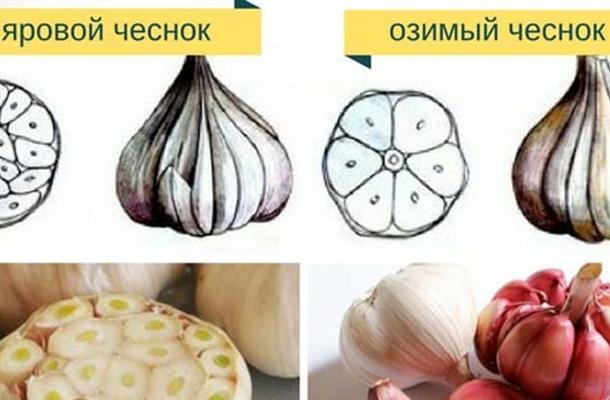Как отличить озимый чеснок от ярового: основные различия