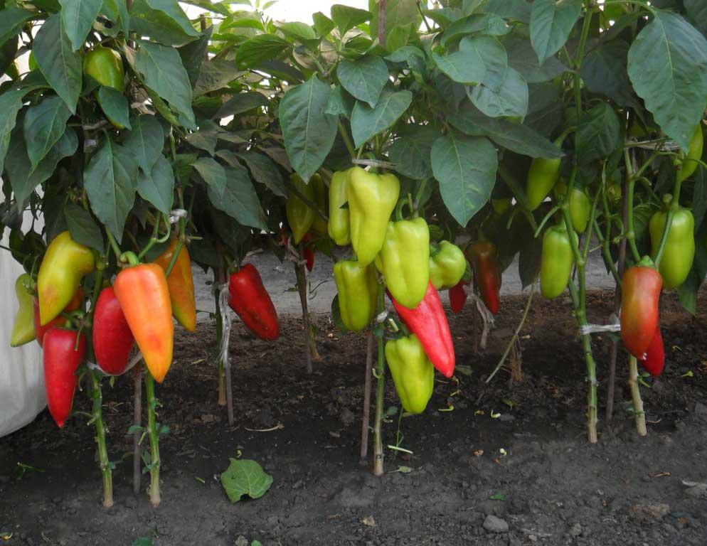Горький перец: выращивание в открытом грунте, посадка и уход