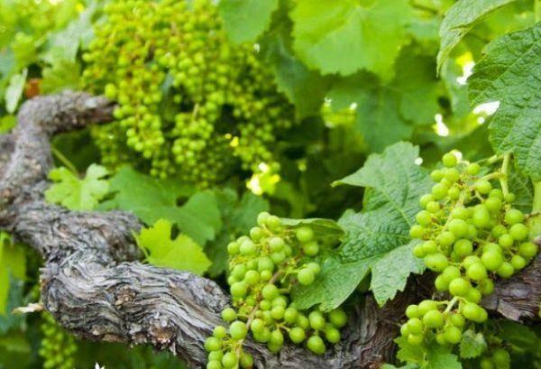 Полив винограда весной, летом и осенью: как часто и как правильно