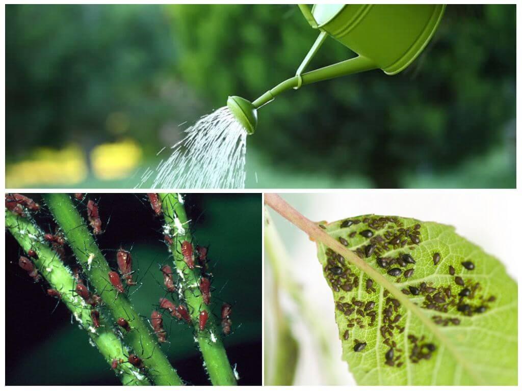 Тля на рассаде перца и баклажан: как избавиться химическими, биологическими и народными способами: фото, видео инструкция