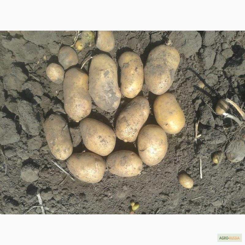 Картофель невский: описание сорта и его характеристики