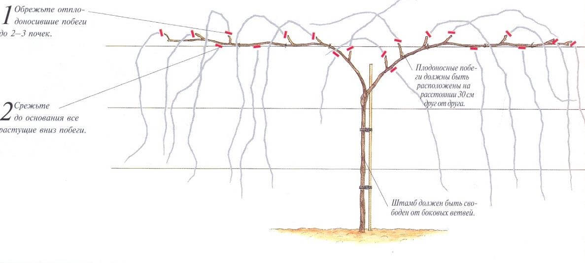 Виноград в средней полосе: правила выращивания для начинающих