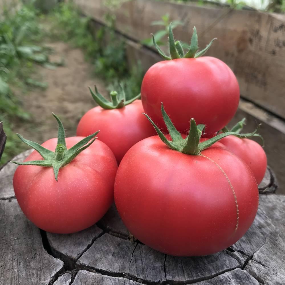 Сортовые особенности томата фенда