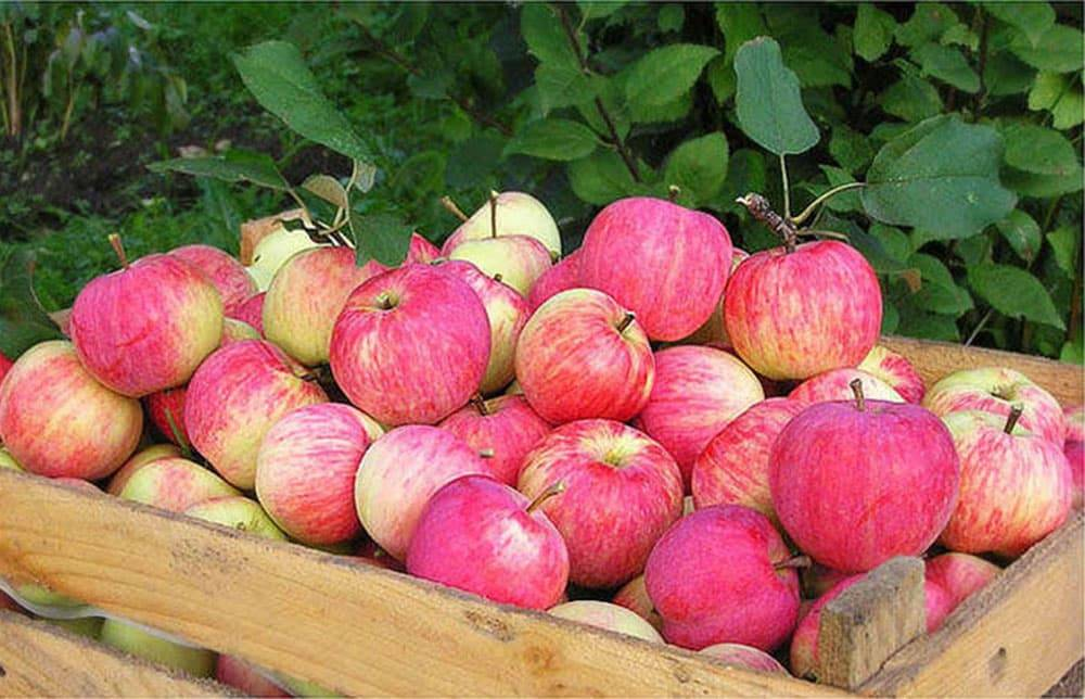Описание и характеристики яблони сорта Штрейфлинг, правила посадки и ухода