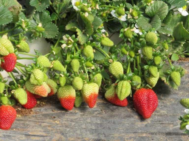 Клубника хоней: описание сорта, отзывы садоводов и дачников, фото
