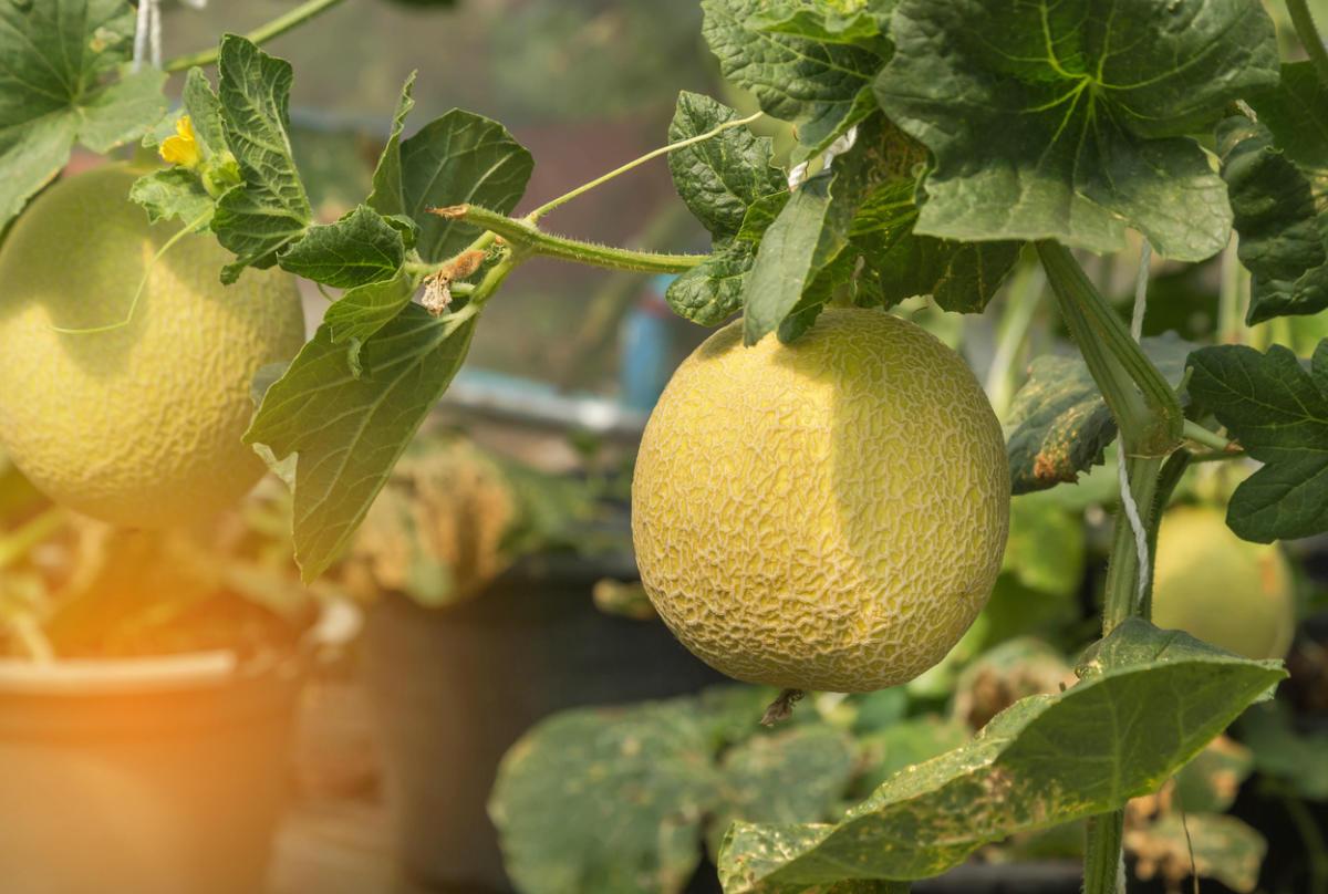 Дыня: выращивание рассады, когда и как сажать, уход и сорта для сибири, урала и подмосковья
