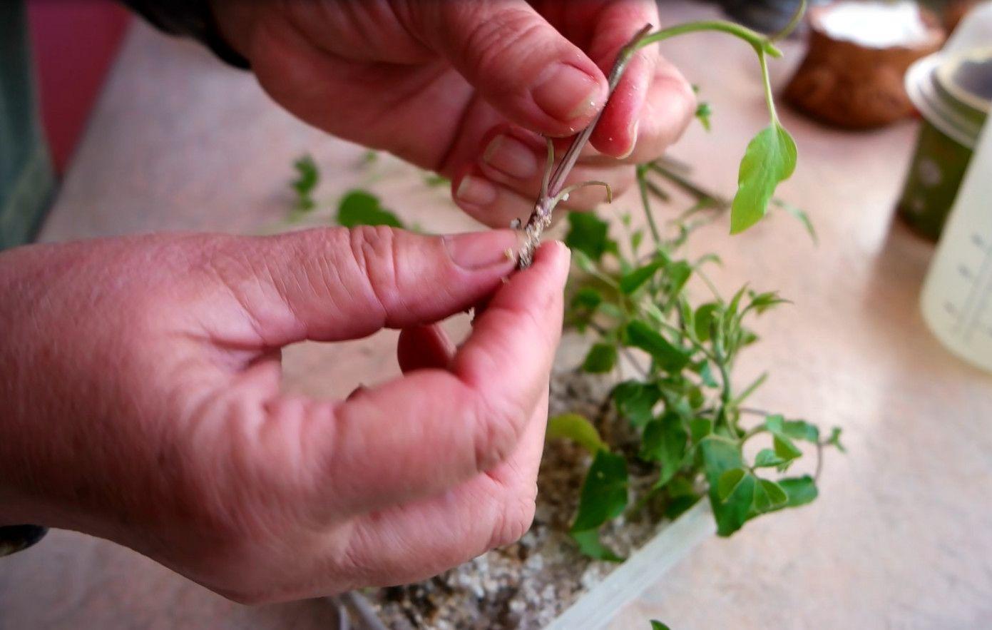 ✅ посадка мяты и размножение семенами, черенками, делением куста - tehnomir32.ru