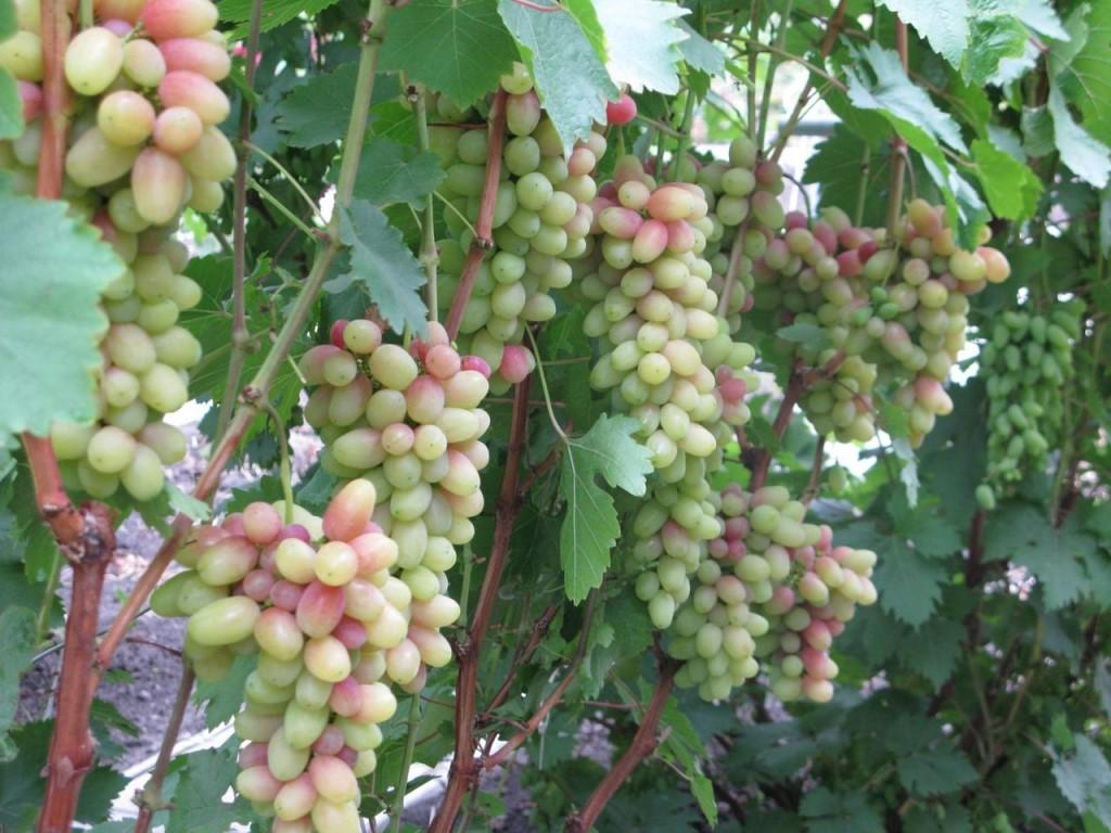 Виноград амурский: фото, видео, сорта и гибриды, опыт выращивания