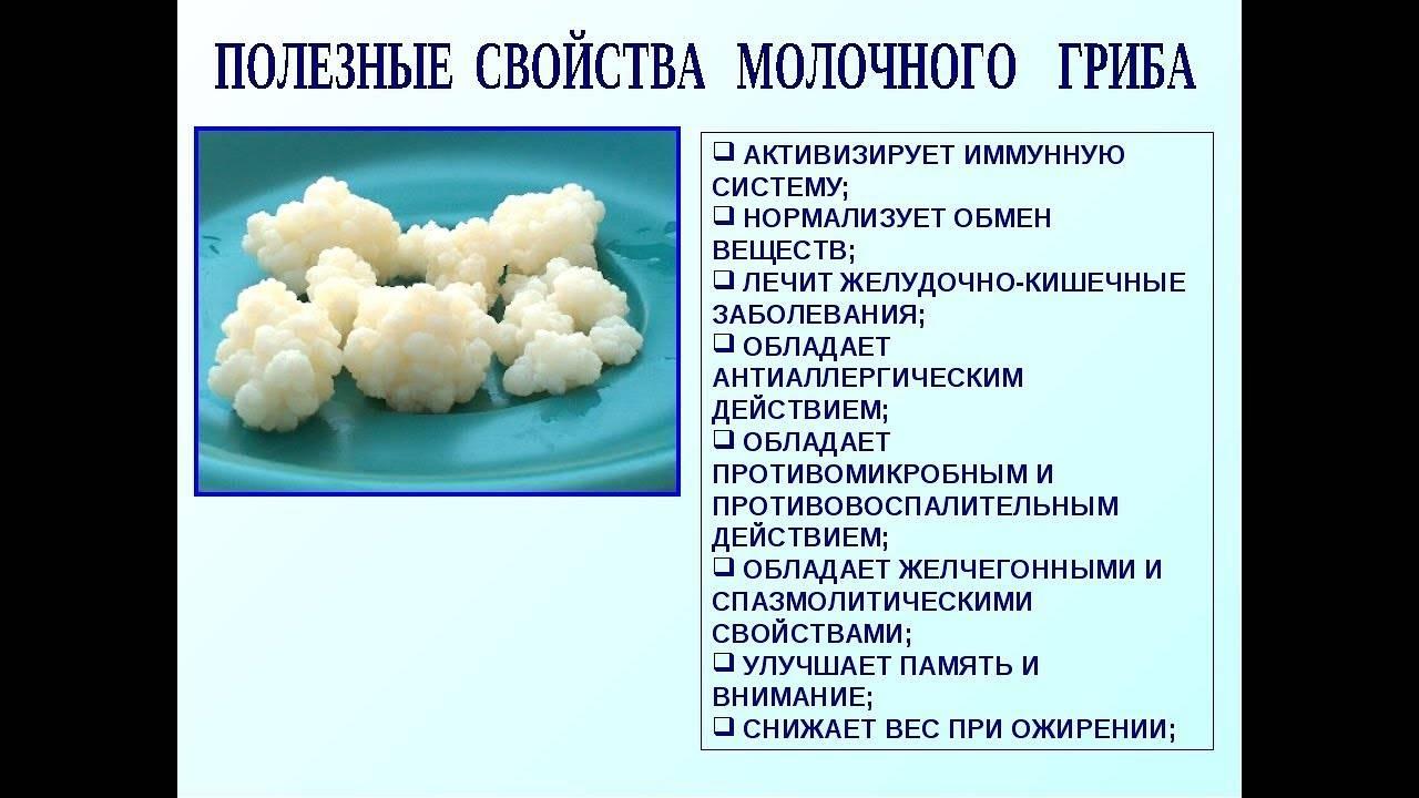 Кефирный гриб: как пользоваться и хранить, польза и вред, а также отзывы врачей