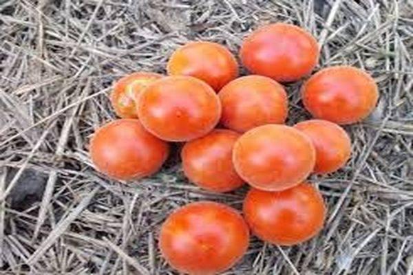 Томат мохнатый шмель — описание сорта, отзывы, урожайность