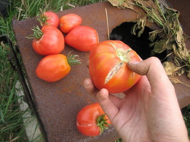 Почему трескаются помидоры в теплице при созревании | zelenysad.ru