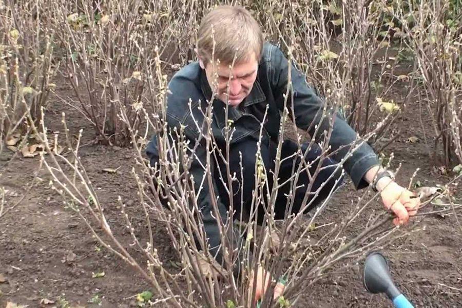 Как омолодить смородину черную и красную и улучшить урожай