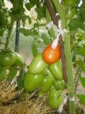 Сорт томата «тамара»: фото, отзывы, описание, характеристика, урожайность