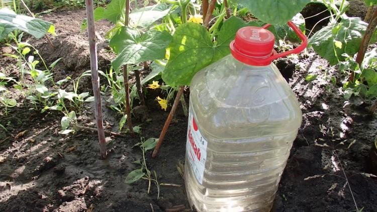 Капельный полив из пластиковых бутылок для огурцов своими руками: как сделать в теплице из поликарбоната и открытом грунте, как поливать
