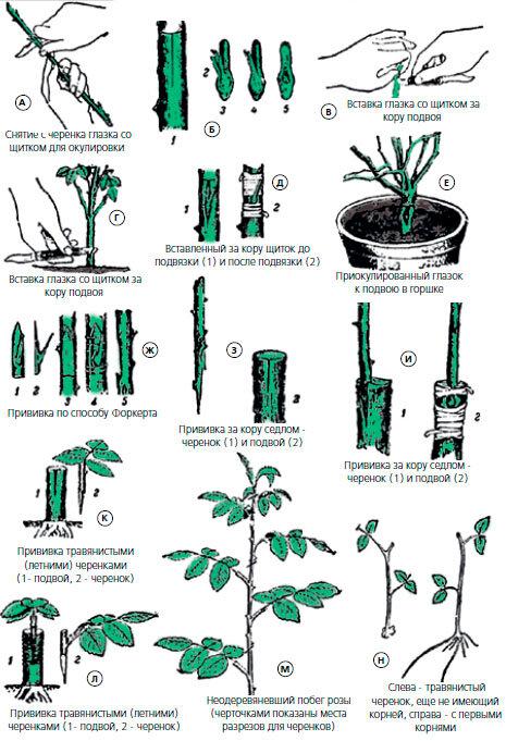 Размножение вишни черенками: заготовка, хранение и укоренение