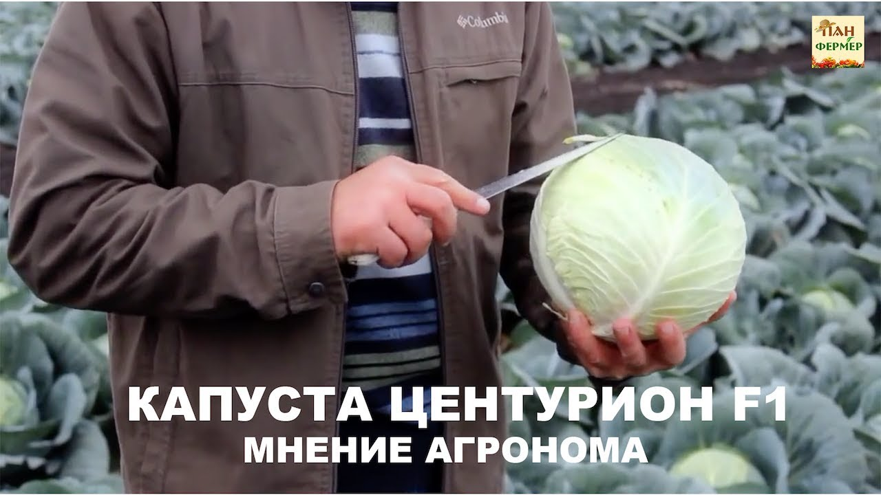 Характеристика капусты сорта центурион f1 - журнал садовода ryazanameli.ru
