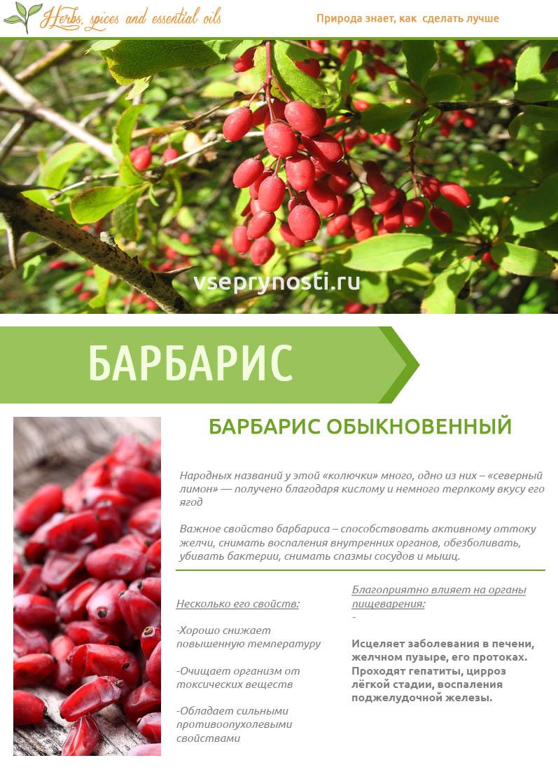 Полезные свойства и противопоказания плодов барбариса, правила применения