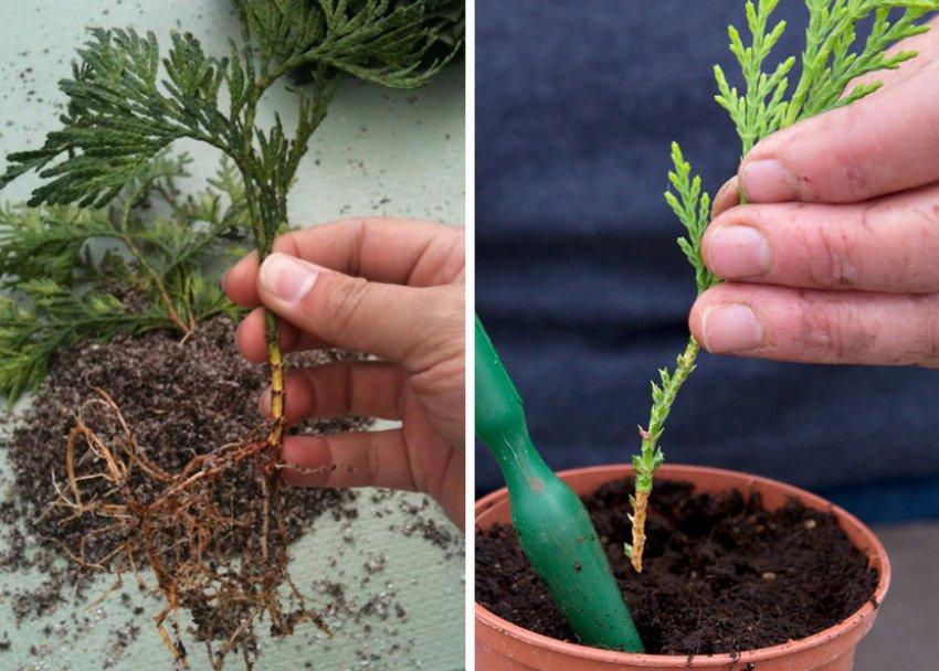 Мята выращивание из семян в домашних условиях и открытом грунте мята перечная выращивание и уход