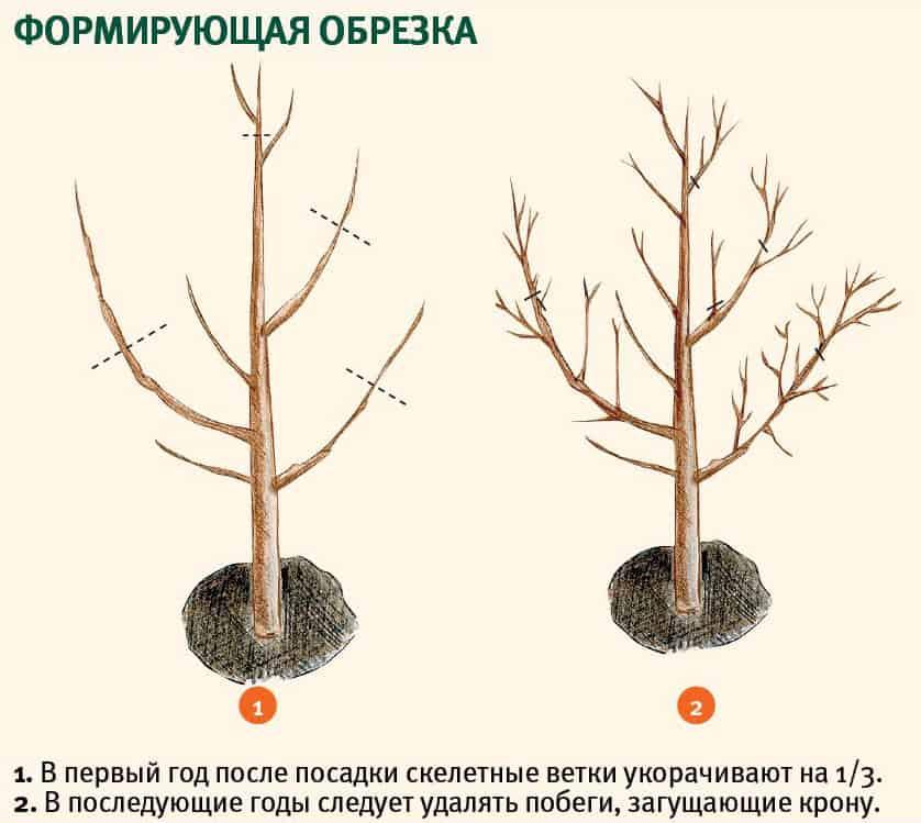 Подготовка и проращивание косточки абрикоса