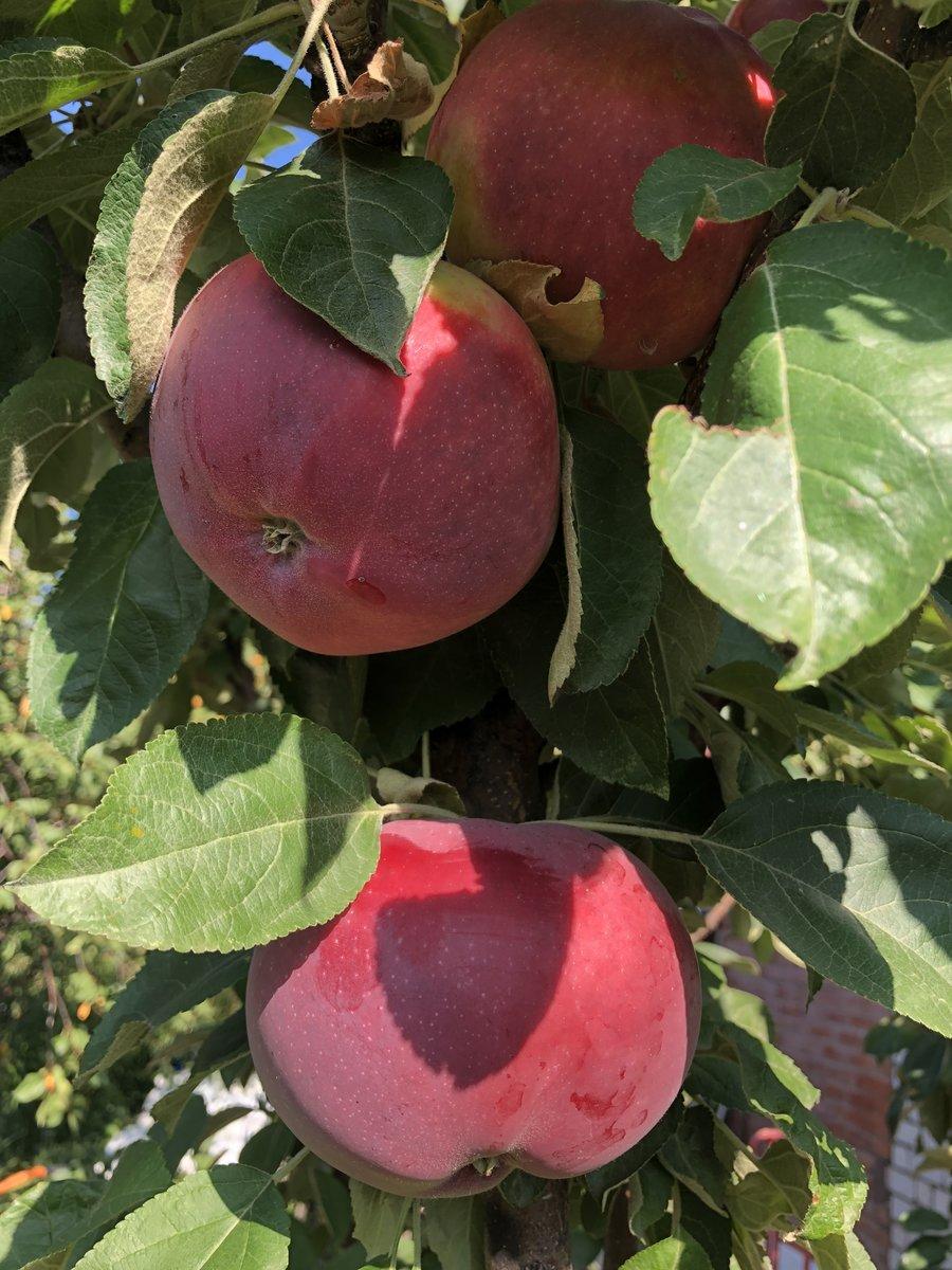 Сортовая яблоня колоновидная малюха: описание сорта, фото, отзывы