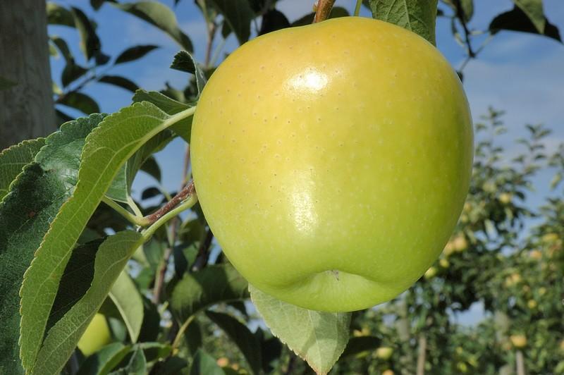 Яблоки голден фото и характеристика: достоинства и недостатки сорта