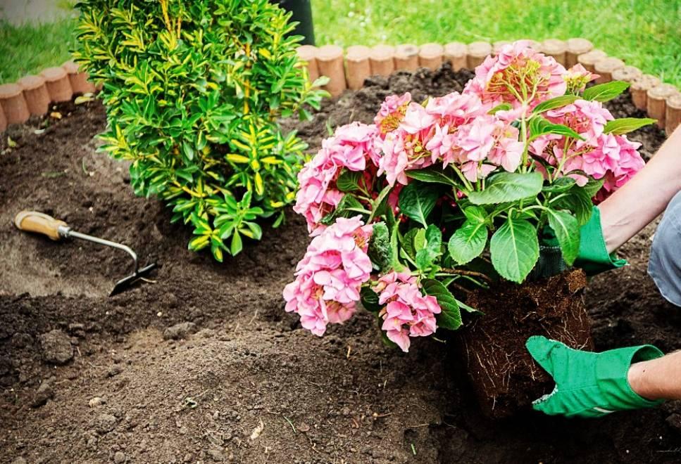 Покупка и посадка хризантемы осенью в открытый грунт: главные правила и рекомендации