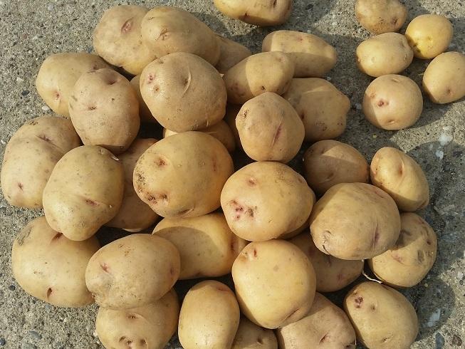 Картофель лабелла: описание сорта, фото, отзывы, сроки созревания, вкусовые качества